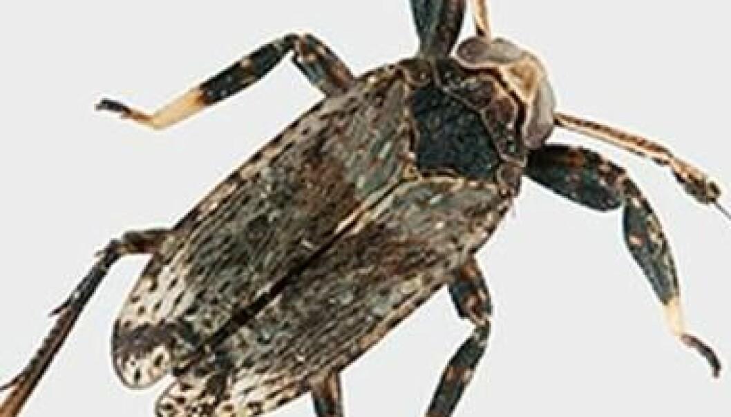 A. clavicornis – en primitiv saftsuger med særs lange antenner. A. Staverløkk/NINA