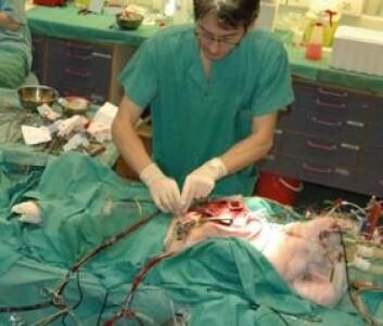 Ole Magnus Filseth kjøler ned grisen med hjerte-lungemaskin. Mørkt varmt blod pumpes ut og erstattes med kaldt blod. (Foto: Privat)