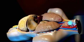 Bildet viser en torso med hodet til høyre. Leveren - som ligger like nedenfor lungene og er det mørkeste organet på bildet, har komplekse funksjoner som gjør at det er vanskelig å lage en kunstig utgave. (Foto: Morguefile)