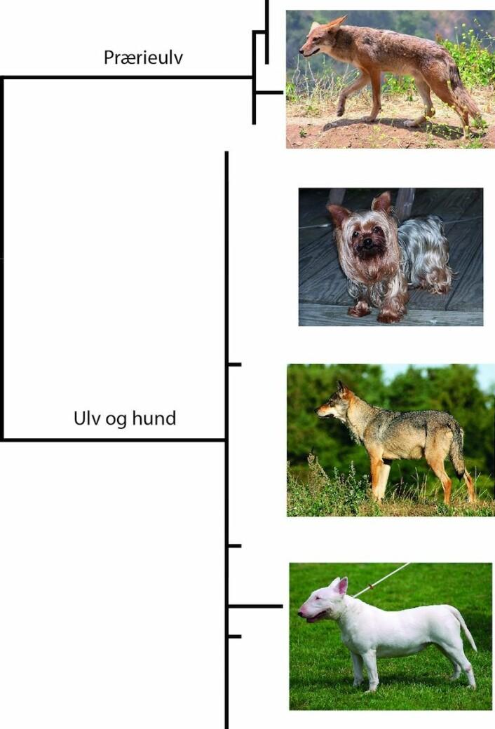 DNA-strekkoder til hund og ulv viser ingen stor forskjell til tross for store forskjeller i utseende. Så er de da heller ikke regnet som egne arter, men underarter av Canis lupus. Prærieulven derimot er regnet som egen art og skilles også genetisk med DNA-strekkoder. (Foto: Justin Johnson, Lilly M, Malene Thyssen, Wikimedia Commons)