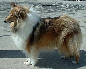 Langhåret collie var en hunderasene som ofte hadde tegn på angst.