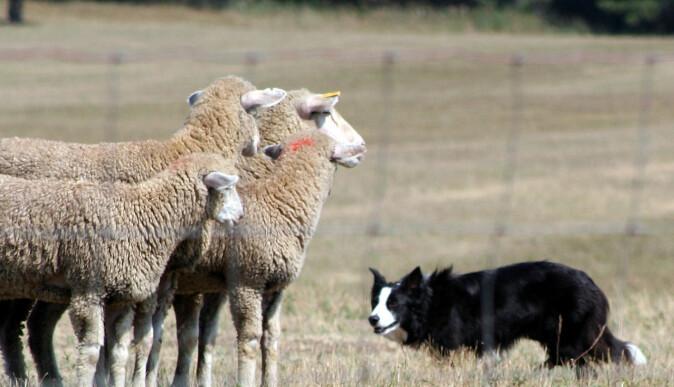 Border collie er avlet frem for å gjete husdyr. I dag jager mange av dem etter skygger og stirrer intenst.