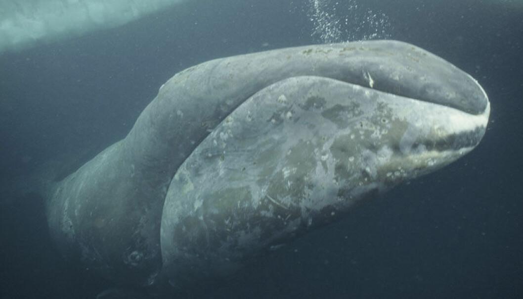 Grønlandshvalens mat er tilbake