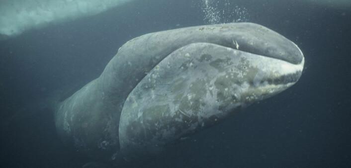 Grønlandshvalen var et ettertraktet bytte for europeiske sjøfolk på 1700- og 1800-tallet. (Foto: Nature Picture Library)