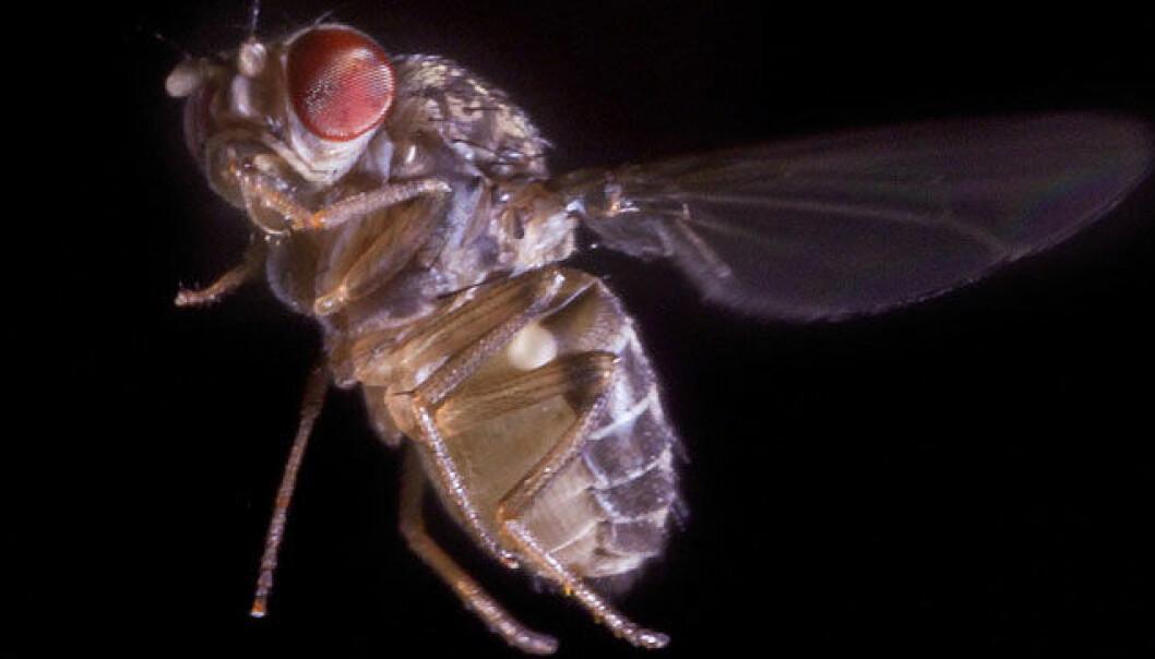 En bananflue, Drosophila hydei, flakser 200 ganger med vingene i sekundet under normal flukt, og enda fortere ved unnamanøvre. F. Muijres og F. van Breugel, University of Washington