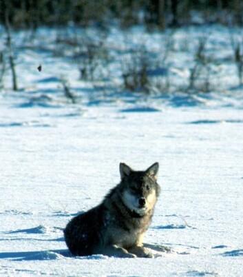 En nordisk forvaltningsplan trengs for å ivareta ulven og det biologiske mangfoldet. (Foto: Nordnatur)