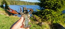 Kreps fra akvarier kan være en risiko for norsk natur