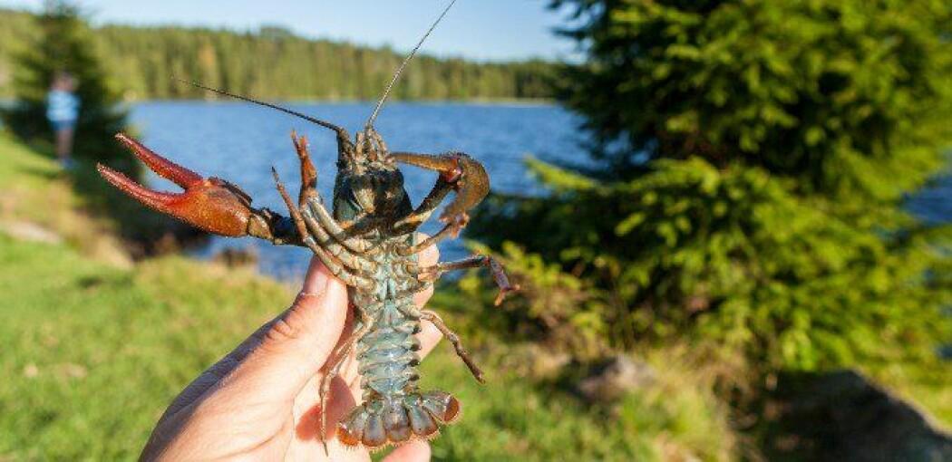 Edelkrepsen finnes naturlig i Norge. Nå kan den være truet av kreps som holdes i akvarier.