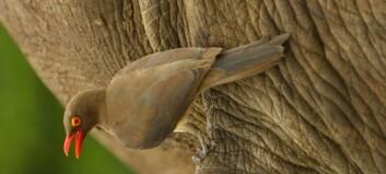 Den lille fuglen beskytter det store neshornet