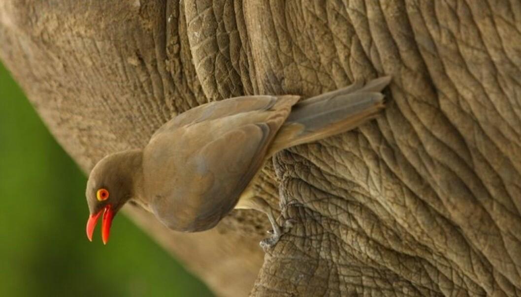 Rødnebboksehakkeren kan se mennesker på lang avstand, i motsetning til hva neshornet kan.
