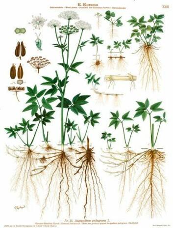 Bladene på kålen kan virke mot blant annet gikt og revmatisme. (Foto: (Ill.: K. Quelprud og S. Mørk, Korsmos ugrasplansjer/Bioforsk))