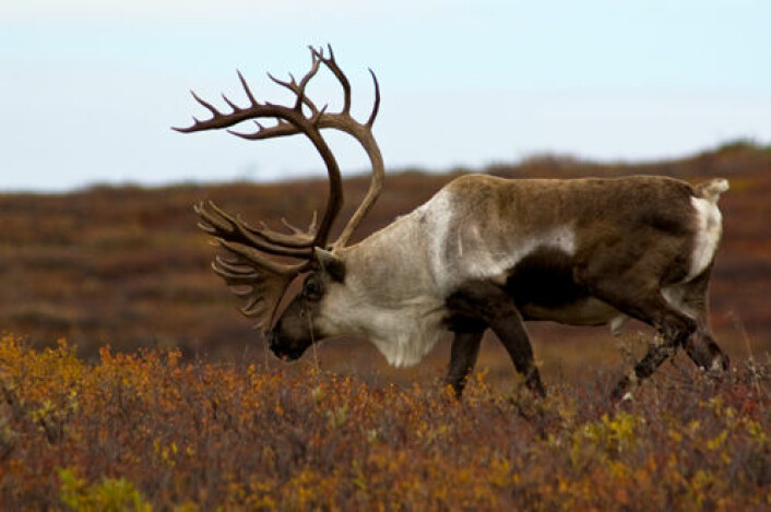Fortidas klima har satt spor i genene til dagens bestander av reinsdyr. Bildet viser rein i Alaska. (Foto: iStockphoto.com)