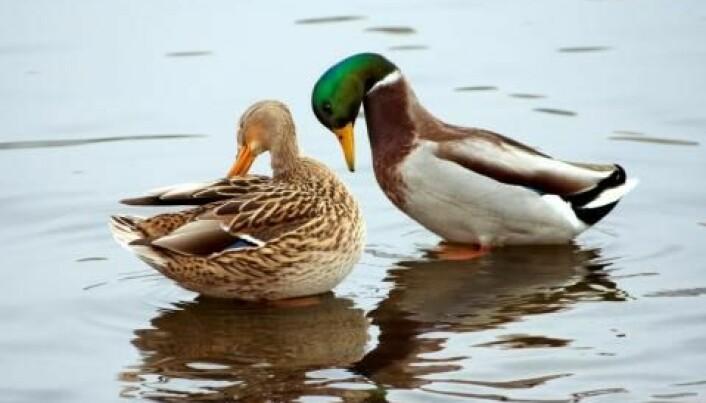 En stokkand-hann med sterkt gult nebb er attraktiv hos hunnene. Nebbet er antakelig et signal på god helse.