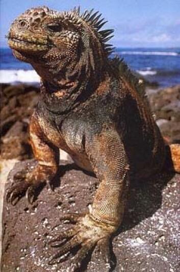 """""""Iguan på Galapagos."""""""