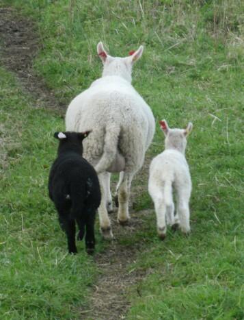 Forbrukerne er opptatt av miljø, helse og dyrevelferd. Den norske driftsformen for sau tillater at mor og avkom kan tilbringe et tilnærmet naturlig liv sammen. Kjøttproduksjon på ammeku og reindrift tilbyr lignende forhold for dyra.