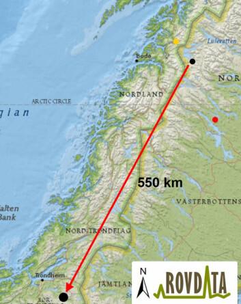 Hunngaupa L-11210 vandret fra Sarek i Sverige til Selbu kommune i Sør-Trøndelag. Den gule prikken viser det nordligste punktet som gaupa er registrert, 6. juni i Sørfold kommune i Nordland. Den røde prikken viser siste posisjon som ble mottatt fra GPS-senderen 7. september i Sverige. (Foto: (Kart: Rovdata))