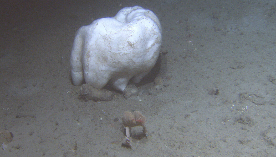 Den hvite <i>Geodia barretti</i>'en på dette bildet ser nesten ut som en jeksel. <br>Foto: Mareano / Havforskningsinstituttet