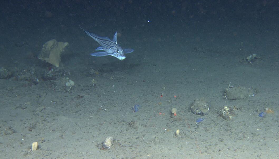 En havmus svever rett over bunnen som er dekket med ulike svamper. <br>Foto: Mareano / Havforskningsinstituttet