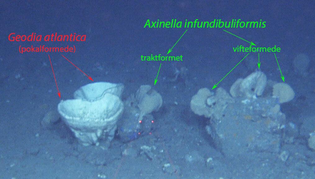 Svamper i ulike former. <br>Foto: Mareano / Havforskningsinstituttet