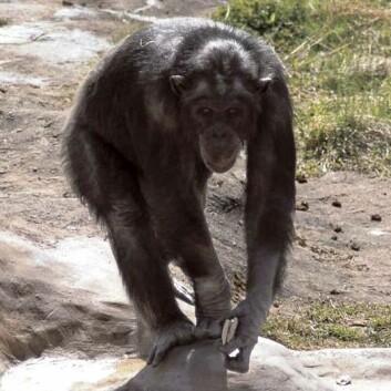 (Foto: Lund University Primate Research Station Furuvik)