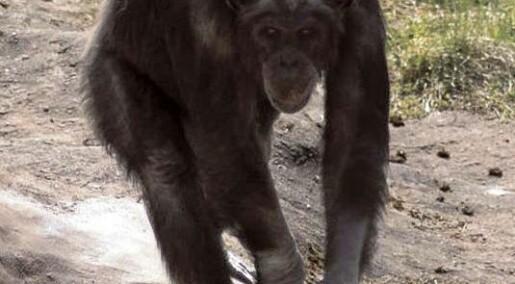 Du vil ikke terge denne apen
