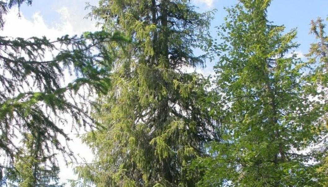 Den ser tilforlatelig ut, men nettopp dette treet er det eldste av sitt slag i hele nord-Europa. Det har levd i over 500 år. Jørund Rolstad/Skog og Landskap