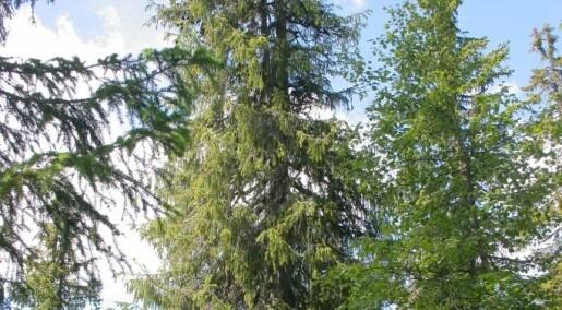 Nord-Europas eldste gran