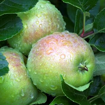 Et duggfriskt eple slik vi vil ha det. (Foto: Håkon Sparre/UMB)