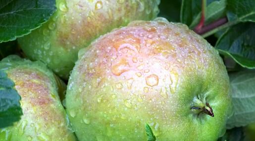 Lang veg til klimarobuste eple
