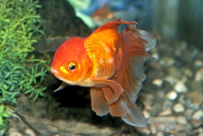 Gullfisk sover, selv om de ikke lukker øynene. (Foto: Colourbox)
