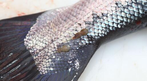Kjemikaliene som dreper lakselus, skader fisk, reker og miljøet