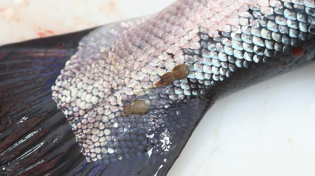 Lakselus på en laksehale. Lusa til høyre har egg i halen.