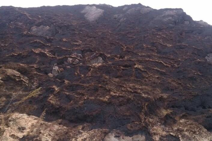 Den stående vegetasjonen har blitt effektivt fjernet av flammene under lyngbrannen på Frøya. Aske og dødt plantemateriale ligger igjen over den frosne bakken, mens røsslyngen er helt borte. (Foto: Raymond Sandvik)