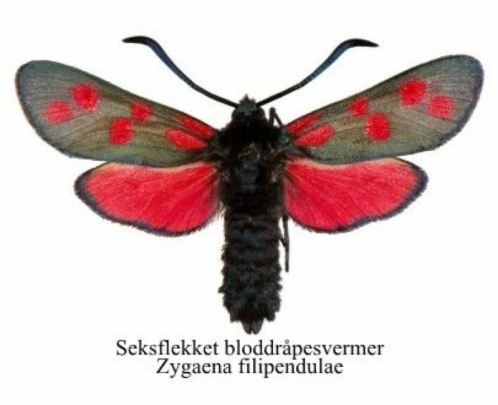 Bloddråpesvermer-familien består av flere arter hvor særlig seksdråpet og stor bloddråpesvermer er til forveksling like. (Lisens: CC-BY-NC-SA) (Foto: Artsdatabanken)