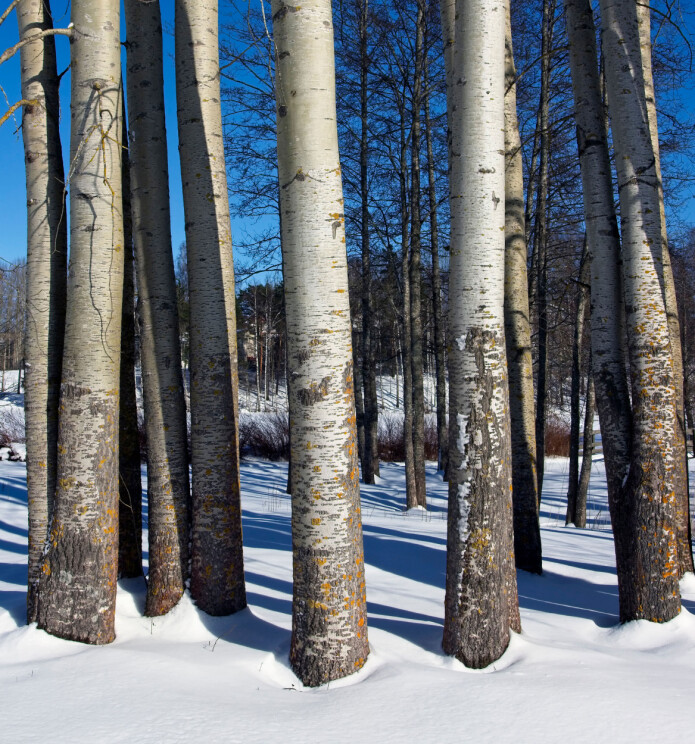 Osp, Populus tremula, har vegetativ formering og dermed er det stor sjanse for at alle disse trærne er en og samme klon – altså samme genetiske individ.