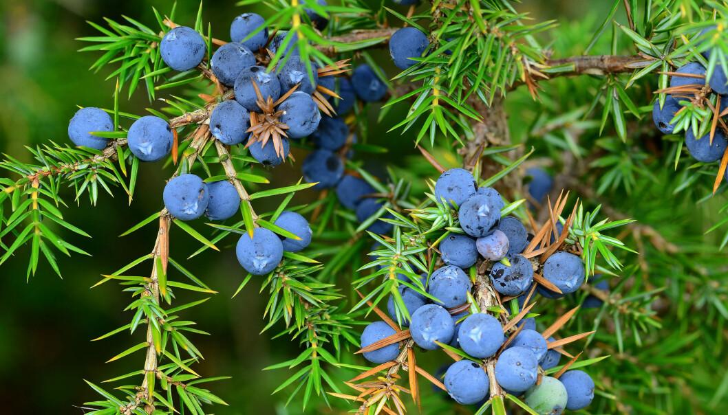 Også einer, Juniperus communis, er særbu med egne hunn- og hannbusker. Ser du en høyreist einer uten bær, er det nok en hann du har funnet. Hunnene prioriterer å bruke energien på reproduksjon fremfor vekst, og er derfor mindre enn hannen.