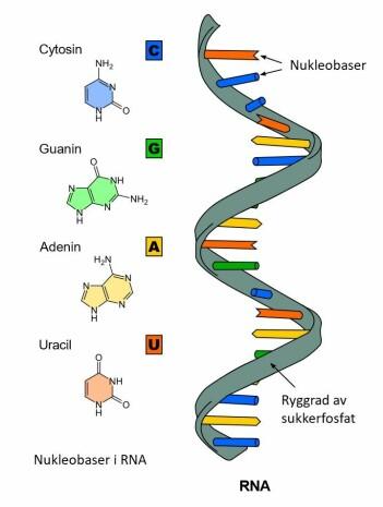 Koronavirus har RNA som arvestoff istedenfor DNA. Legemidler som etterligner byggesteinene til RNA (cytosin, guanin, adenin og uracil), kan stoppe virusenzymet som kopierer opp arvestoffet. Legemiddelet Remdesivir ligner på byggesteinen adenin.