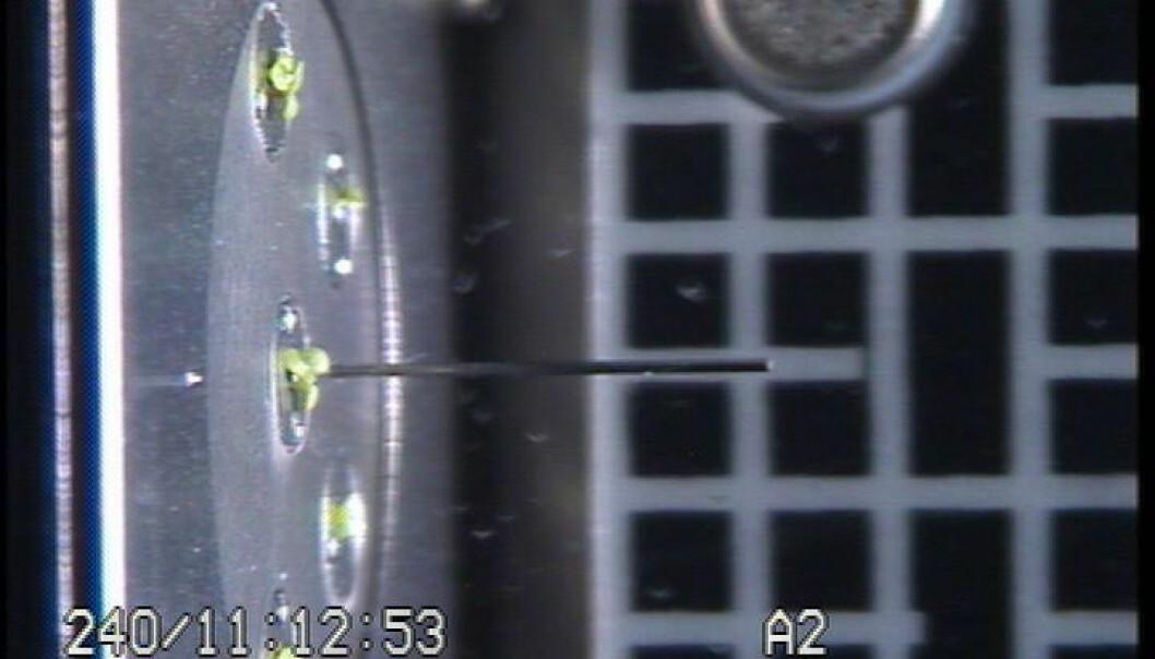 """""""Spiring! Bildet er fra Den internasjonale romstasjonen og viser Vårskrinneblomst med noen få millimeters vekst. Fotoet er fra nedre del av vekstkammeret som planten befinner seg i. Pinnen på bildet peker oppover mot lyskilden. Kammeret er cirka 10 cm høyt. Foto: ESA/NASA."""""""