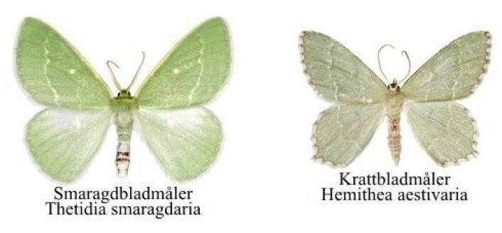 Målere er den tredje største sommerfuglgruppen i Norge. Den har fått navnet sitt av måten larvene beveger seg på, det ser ut som de måler opp bakken. (Lisens: CC-BY-NC-SA) (Foto: Artsdatabanken)