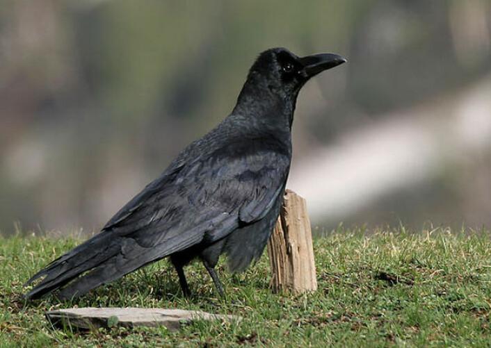 Kråka Corvus macrorhynchos. (Foto: J.M Garg/Wikimedia Commons. Lisens CC BY-SA 3.0)