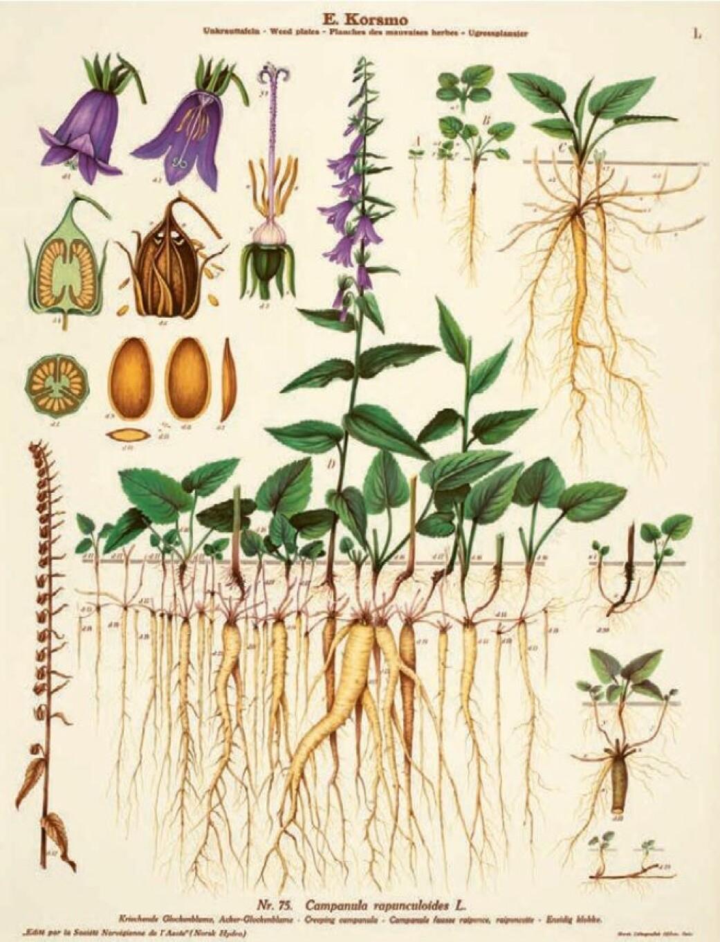 Har ugressklokken først kommet i hagen, er den nesten umulig å bli kvitt, skriver Borgen.