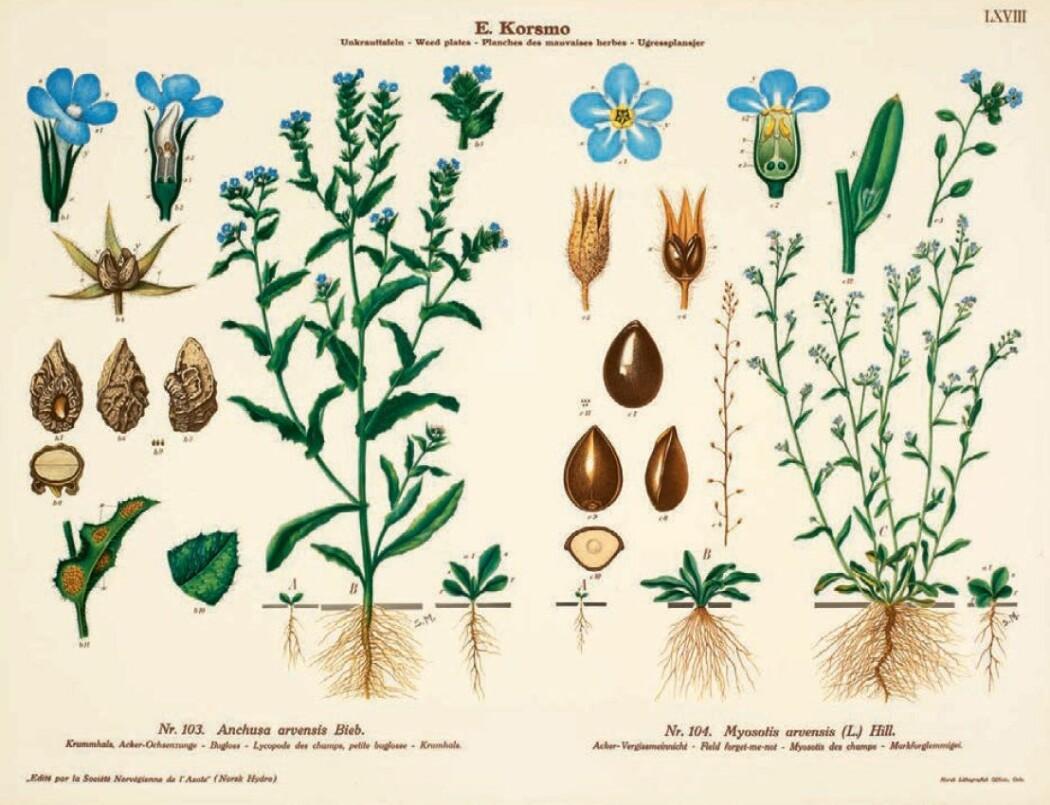 Emil Korsmo gikk til kamp mot ugresset. Men plansjene han laget av de brysomme plantene ble vakre og populære