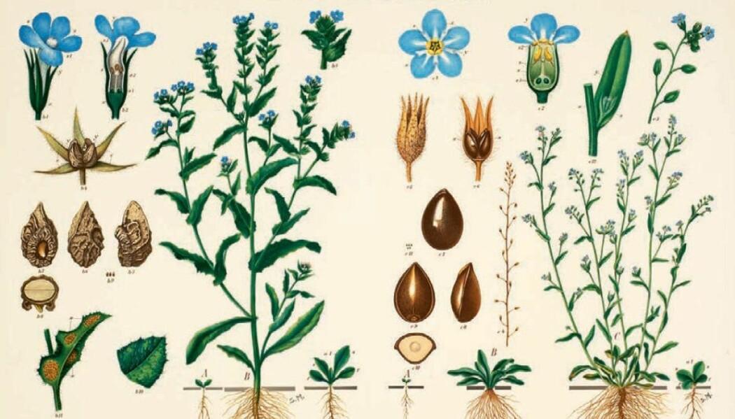 I plansjene viste Emil Korsmo plantenes livsløp.