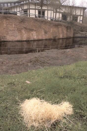 Et av Santinos våpenskulesteder som han har laget av høy. Legg merke til steinen under høydotten. (Foto: Lund University Primate Research Station Furuvik)