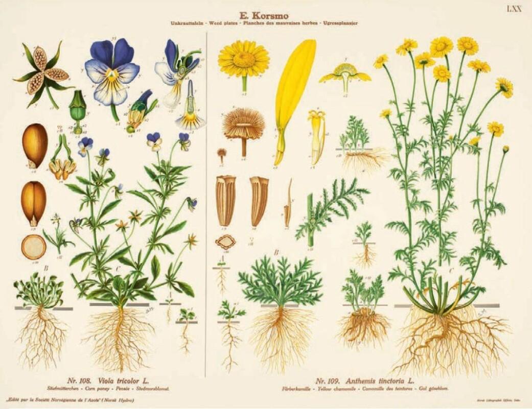 Korsmo regnet stemorsblomsten blant ugressene. Den er populær som prydplante. Alle deler av planten er spiselig. Den kalles også Nordens vanilje, og vaniljesmaken kan trekkes ut ved å legge stenglene i væske.