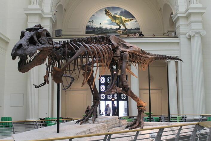 Verdens største og mest fullstendige skjelett har fått navnet Sue. Skjelettet antas å være omtrent 65 millioner år gammelt og holder til på Field Museum of Natural History i Chicago, USA. (Foto: Wikipedia)
