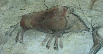 Villsvinet, avbildet på en vegg i Altamira-hulen i Spania, har unormalt mange bein. Stadig flere arkeologer tror det er meningen at beina skal bli en animasjon av dyret i fart. (Foto: HTO/Wikimedia Creative Commons)