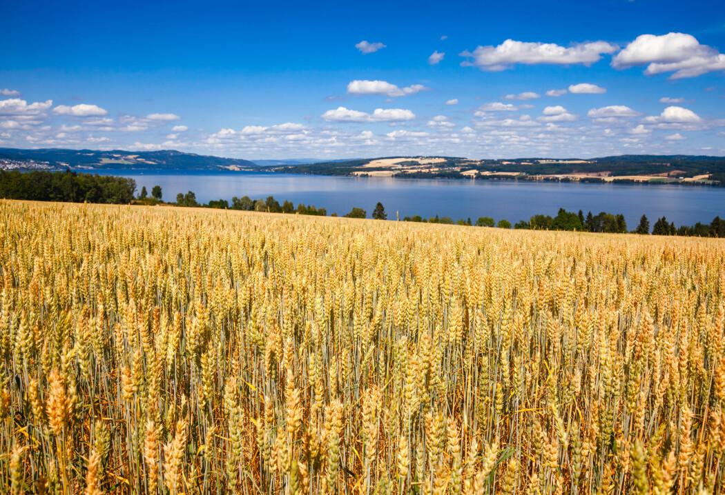 I Norge er i underkant av 50 prosent av maten vi spiser, dyrket innenfor landets grenser.