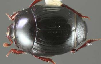 Bilde av Operclipygus falini, en av de 138 nye artene. (Foto: Michael S. Caterino)