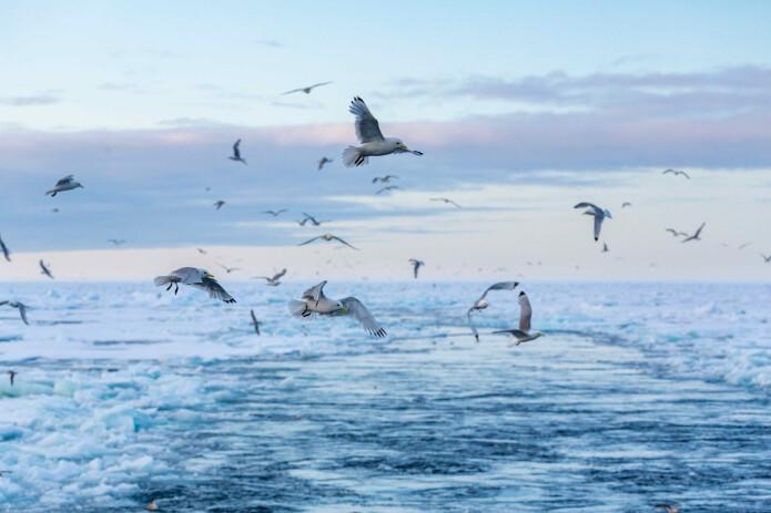 Hva skjer med artene når iskanten trekker seg nordover?